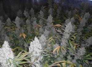 Marijuana Seeds US Buy Amnesia here